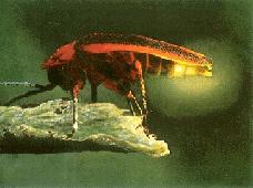 (Lampyris noctiluca)