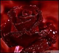18-Rose_304019_3114691365393