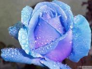 20-Rose_311246_3194764047160