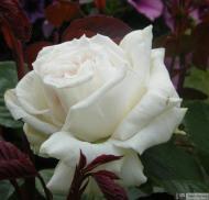 27-Rose_420511_3171072134877