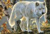Lupul alb